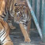 tiger-zoo-Pattaya-crocodiles-elephants-Siracha
