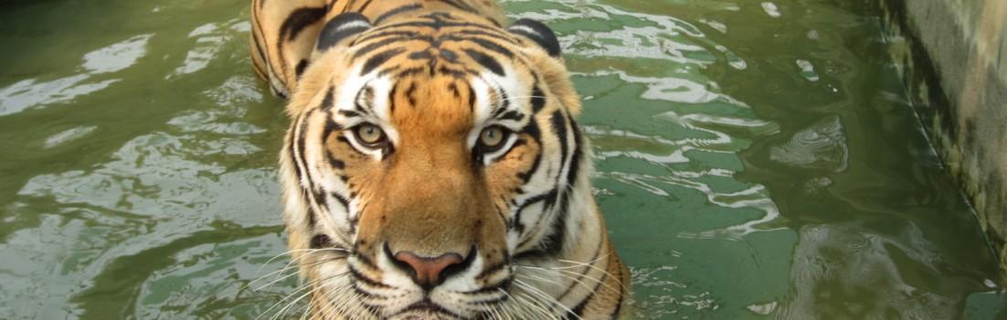 Chiang-Mai-tiger-warning-Thailand-bazaar-market